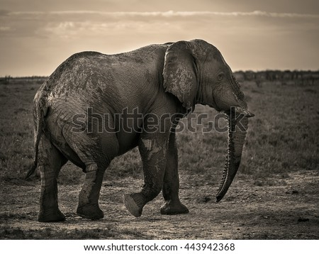 Big strong elephant walking in Savanna. Close up. Monochrome. (Namibia, South Africa) - stock photo