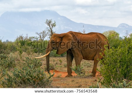 Big strong male elephant standing in front of the camera and walking in the savannah searching for food.