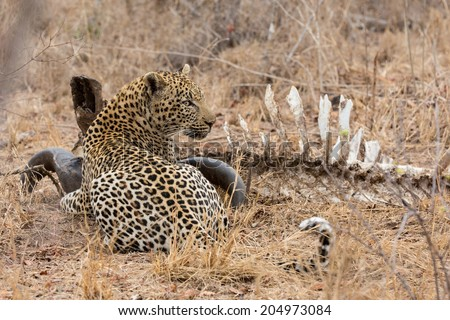 Big strong male leopard walking eat on animal carcass in grass