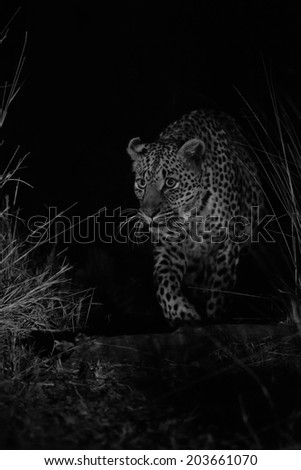 Big strong male leopard walking in nature at night in darkness artistic conversion - stock photo