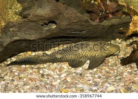 Big suckermouth catfish in th aquarium - stock photo