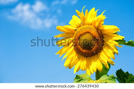 big sunflower in field, spring landscape - stock photo