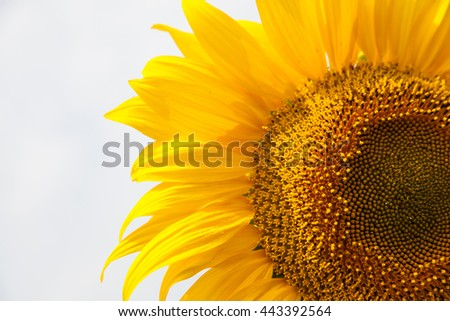 Big sunflower over blue sky, rural summer landscape