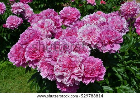 Big sunny beautiful pink peony flowers in spring