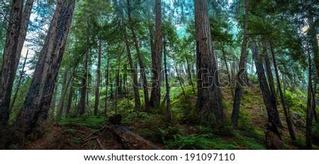 Big Sur Redwood Forest - stock photo