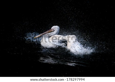 Big swimming white pelican with flapping wings in the drops of water on a black background - stock photo