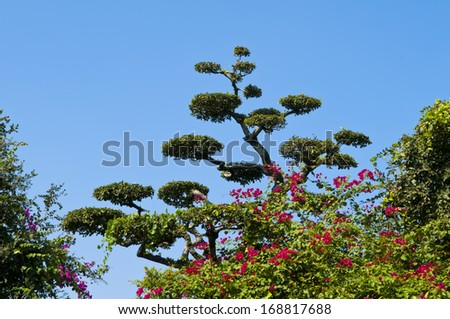 big tall bonsai in garden - age old tall zen japan root rock blue red Bougainvillea - stock photo