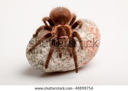 Big Tarantula on rock - stock photo