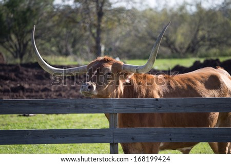 Big Texas Longhorn steer/bull looking over fence - stock photo