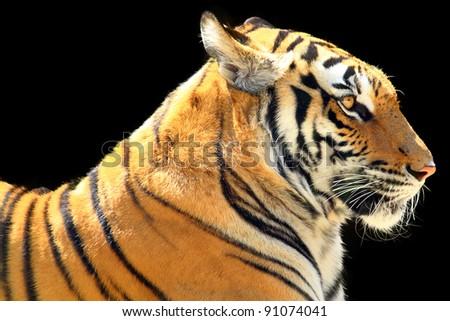 Big Tiger on a black background - stock photo