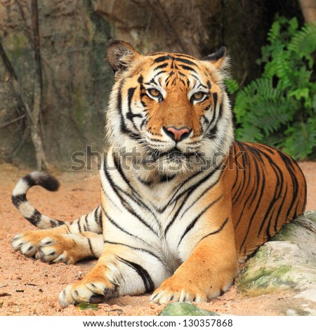 Big Tiger sitting - stock photo