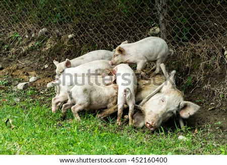 Big tired pig fedding piggies on the ground