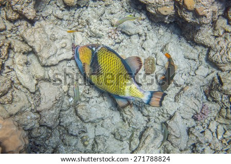 Big titan triggerfish eating corals. Red Sea, Egypt, underwater. Surrounded with 3 thalassomas and one medium size orange-lined triggerfish - stock photo