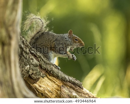 BIG TOOTH - Beautiful Grey Squirrel (Sciurus carolinensis) foraging in a woodland setting, depicted yawning, baring its razor sharp teeth.