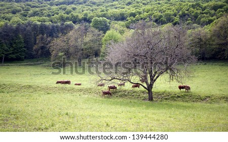 Big Tree and cows in a field, cows eat grass; - stock photo