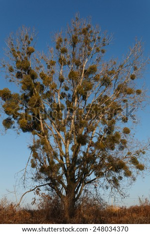 Big tree covered with mistletoe - stock photo
