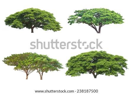 Big tree isolated, Common name : saman, rain tree, monkeypod, giant thibet, inga saman, cow tamarind, East Indian walnut, Binomial name : Albizia saman. - stock photo