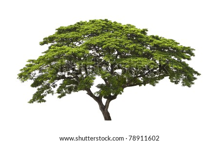 Big tree isolated, Common name : saman, rain tree,  monkeypod, giant thibet, inga saman, cow tamarind, East Indian walnut,  Binomial name :   Albizia saman - stock photo