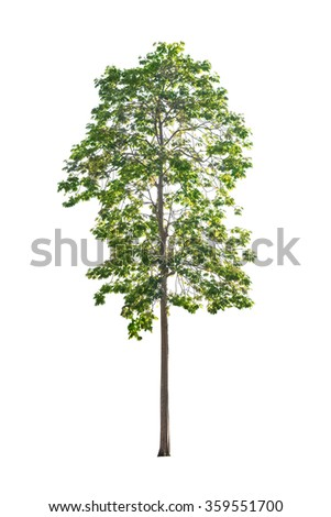 big tree isolated on white