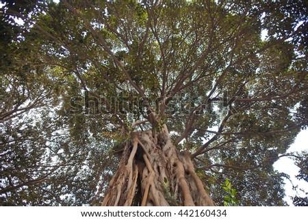 Big tree on Valencia street - stock photo