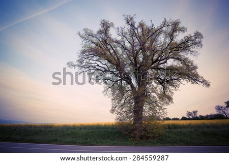 Big tree over sunset sky. Nature summer background
