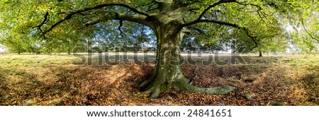 Big Tree Panorama