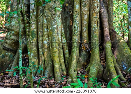 Big tree roots or stems in rainforest National park Periyar Wildlife Sancturary, India - stock photo