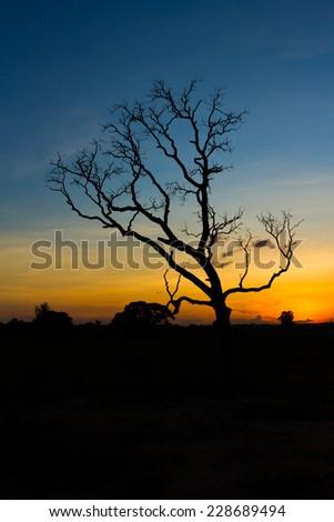 Big tree silhouette sunset  sky background - stock photo