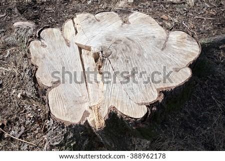 big tree stump - stock photo