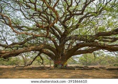 Big tree with branch magnify in Kanchanaburi,Thailand  - stock photo