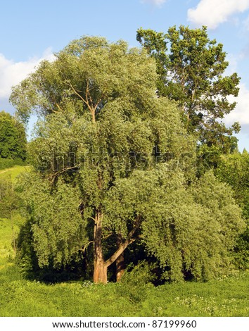 Big tree with branches - stock photo