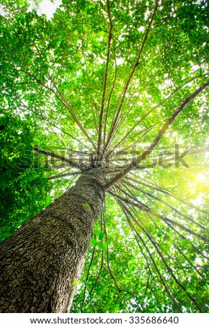 Big tree with green leaves, Sun shining through the canopy of tall beech trees - stock photo