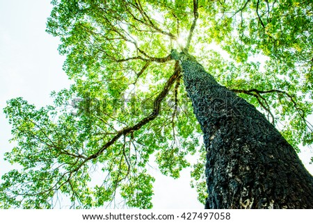 Big tree with green leaves, Sun shining through the canopy of tall trees - stock photo