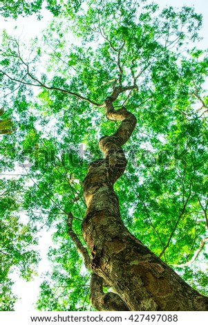 Big tree with green leaves, tall tree - stock photo