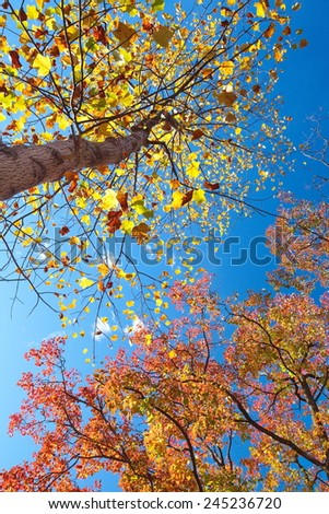 Big tree with yellow and red leaf in autumn season