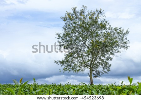 Big trees shade frozen lonely hillside tea with large trees being solid like to protect, protect small trees beneath a thunderstorm before nature - stock photo