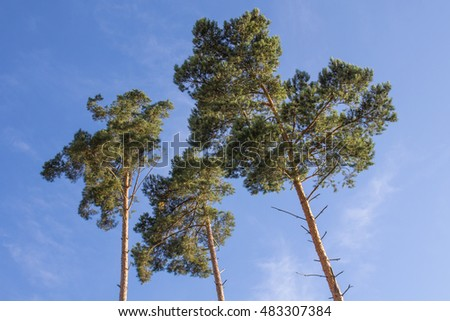 big trees with blue sky behind
