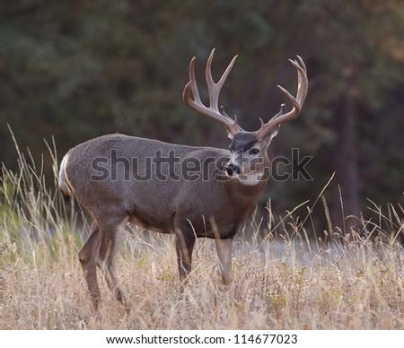 Mule Deer Stock Images, Royalty-Free Images & Vectors ... Trophy Mule Deer Buck