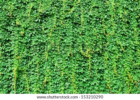 Big wall covered by green ivy leaves - stock photo