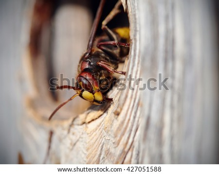 Big wasp - hornet about an entrance to a nest. - stock photo