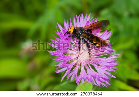 Big wasp-like insect gathers nectar from cornflowers in summer garden - stock photo