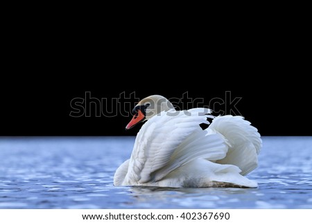 big white bird in the water, mute swan, sunset over the lake isolated on black - stock photo