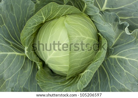 big white head cabbage grow on field