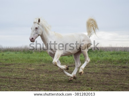 big white horse runs on the field on a background gray sky