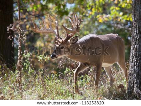 Big white-tail buck deer walking through the woods.  Antlers are shedding velvet from rubbing.  Rutting behavior. - stock photo