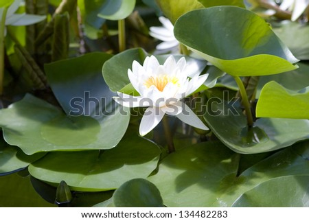 Big white water lily with big green leaves.