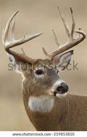 Big Whitetail Buck - highly detailed portrait of a trophy class White-tailed Deer White Tail Deer hunting season in Wisconsin, Minnesota, Michigan, Iowa, Indiana, Illinois, Ohio, Missouri, New York