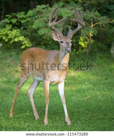 Big whitetail buck with antlers in velvet posing for the camera