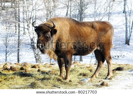 Big wild bison in the winter forest - stock photo