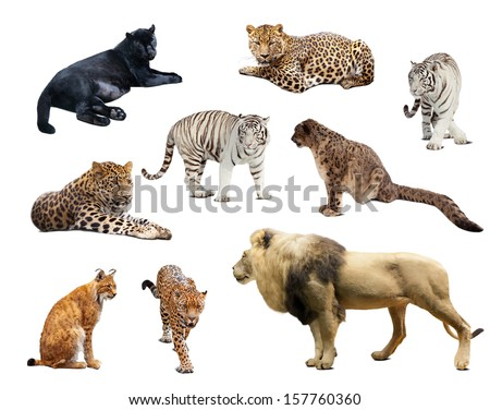 big wildcats. Isolated over white background with shade - stock photo